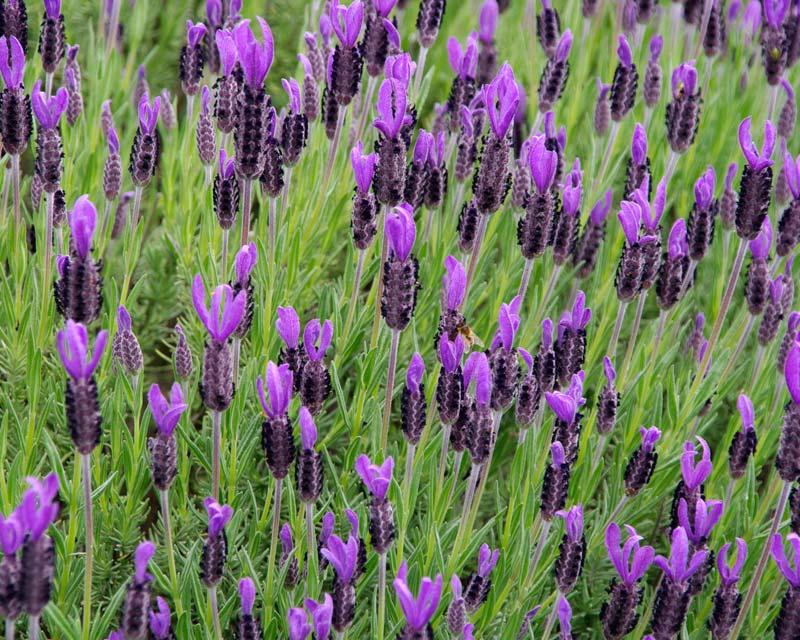 GardensOnline: Lavandula stoechas