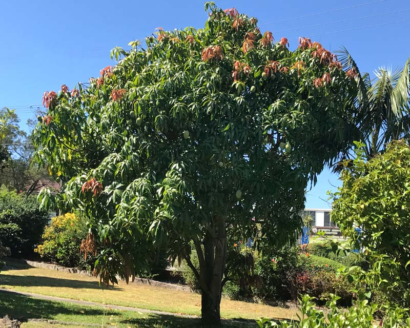 the feasibility of mango magnifera indica leaves The amazing mango tree (mangifera indica) is much more than just a source for mangos it's a beautiful, living thing that gives back so much to the planet and the people who tend it the mango tree grows in tropical climates.