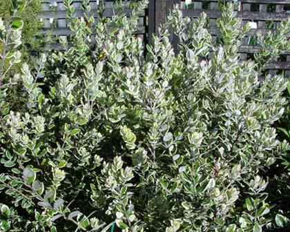 Gallery variegated hardy pittosporum best fauna flora in the world