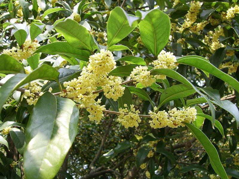 Gardensonline Osmanthus Fragrans