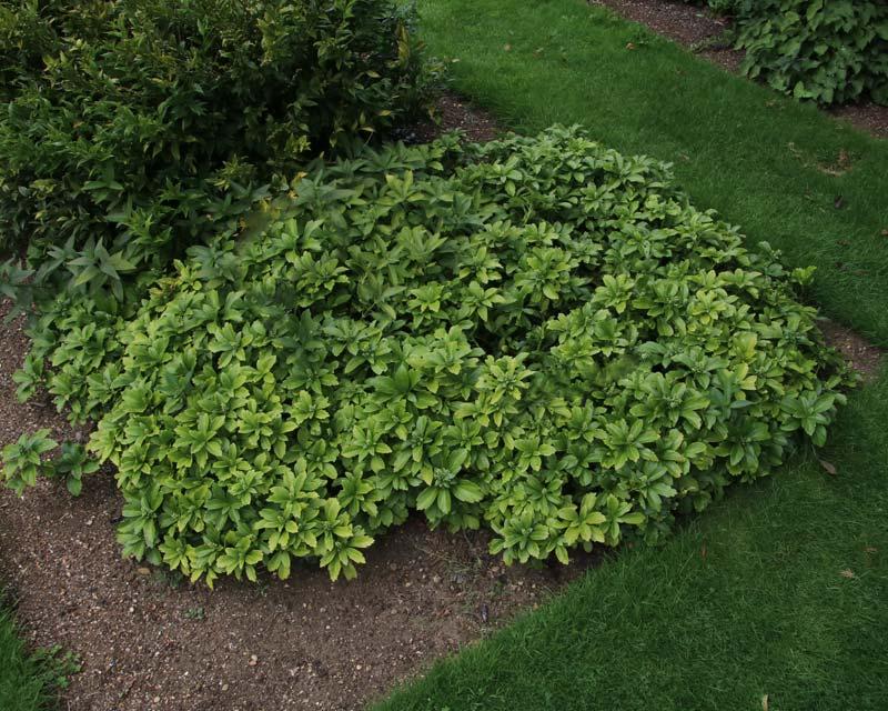 Gardensonline Pachysandra Terminalis