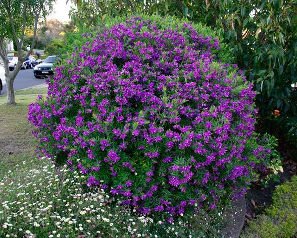 Polygala grandiflora