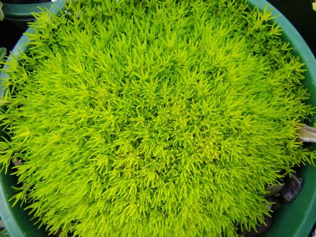 Gardensonline Sagina Subulata Aurea