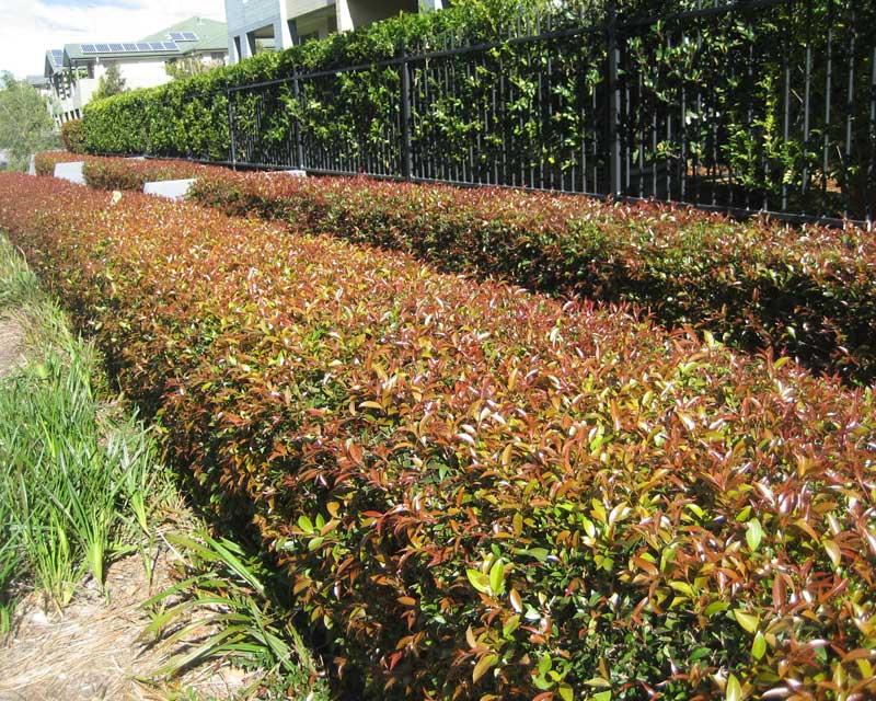 Gardensonline Syzygium Paniculatum Lilliput