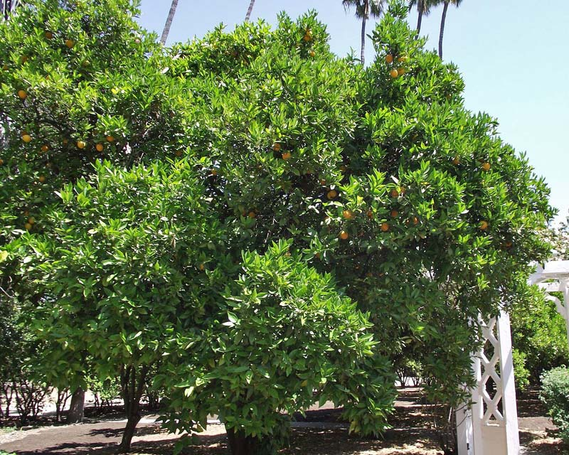 Citrus sinensis Washington Navel - photo Stickpen