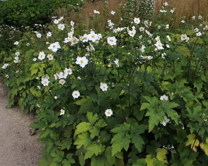GardensOnline: Anemone x hybrida