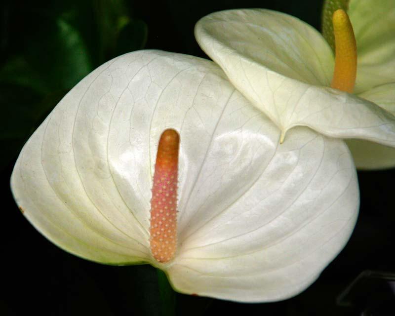 Anthurium andreanum Sumi