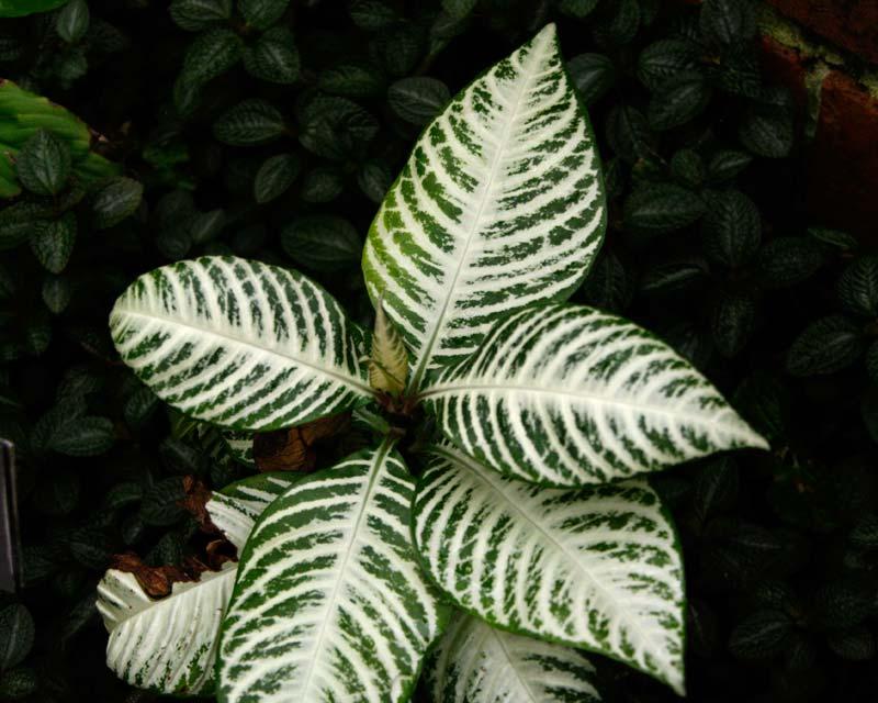 GardensOnline: Aphelandra squarrosa