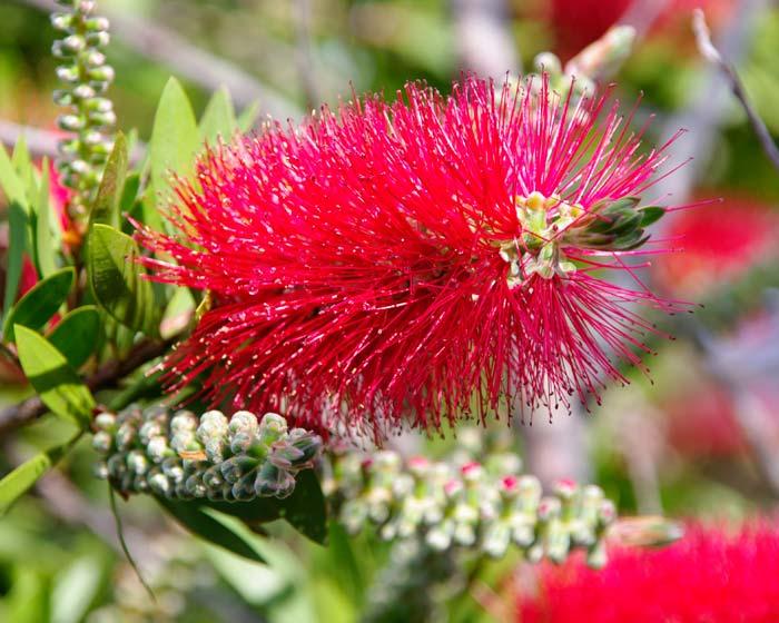 GardensOnline: Callistemon citrinus