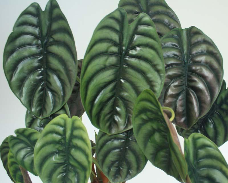 Gardensonline Alocasia Cuprea