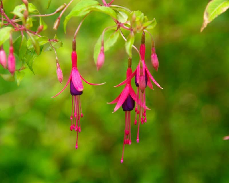 Fuchsia magellanica Hardy Fuchsia - deep pink and purple flowers