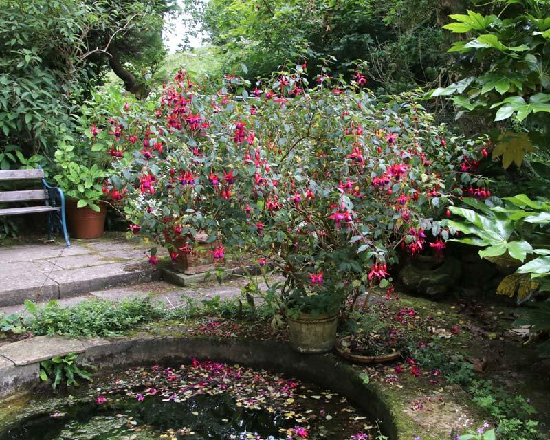 Fuchsia magellanica alongside Pond at Mapperton Gardens
