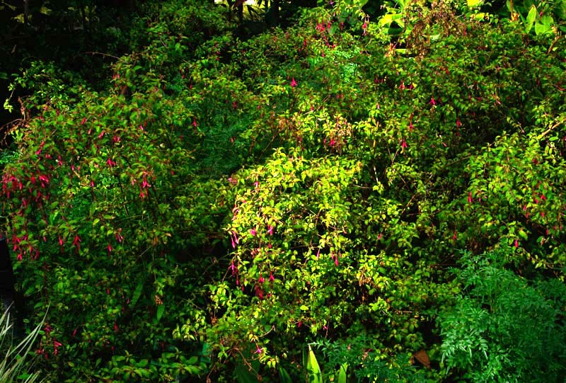 Fuchsia magellanica - Hardy fuchsia - upright and spreading shrub