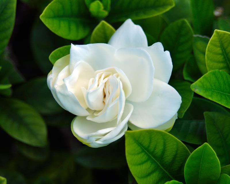 Gardensonline Gardenia Augusta Syn G Florida G