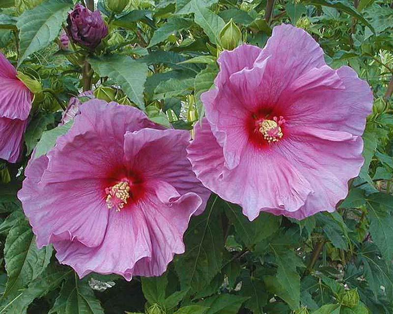 Gardensonline Hibiscus Fantasia