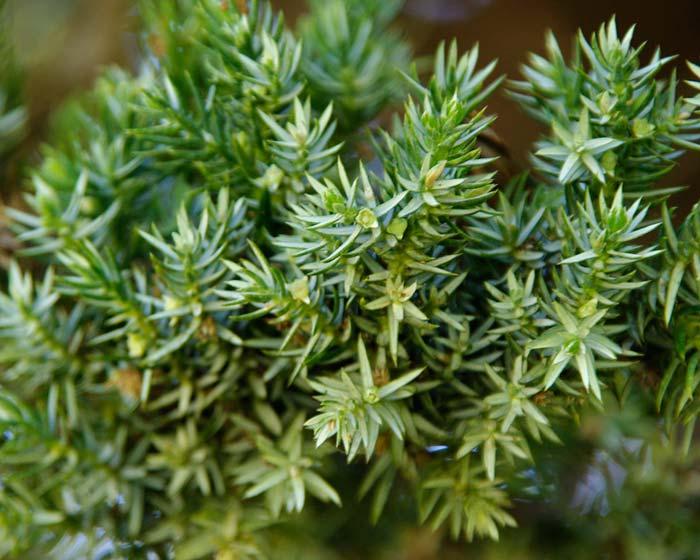 Gardensonline Juniperus Squamata Prostrata