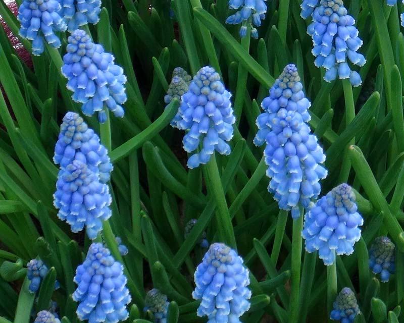 Gardensonline Muscari Armeniacum Heavenly Blue