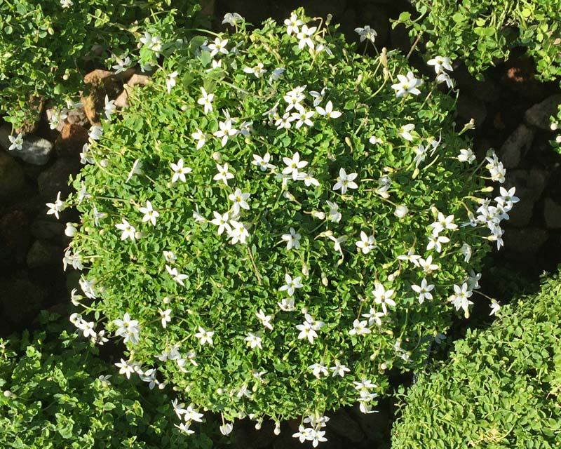 Pratia pedunculata - small white star-like flowers