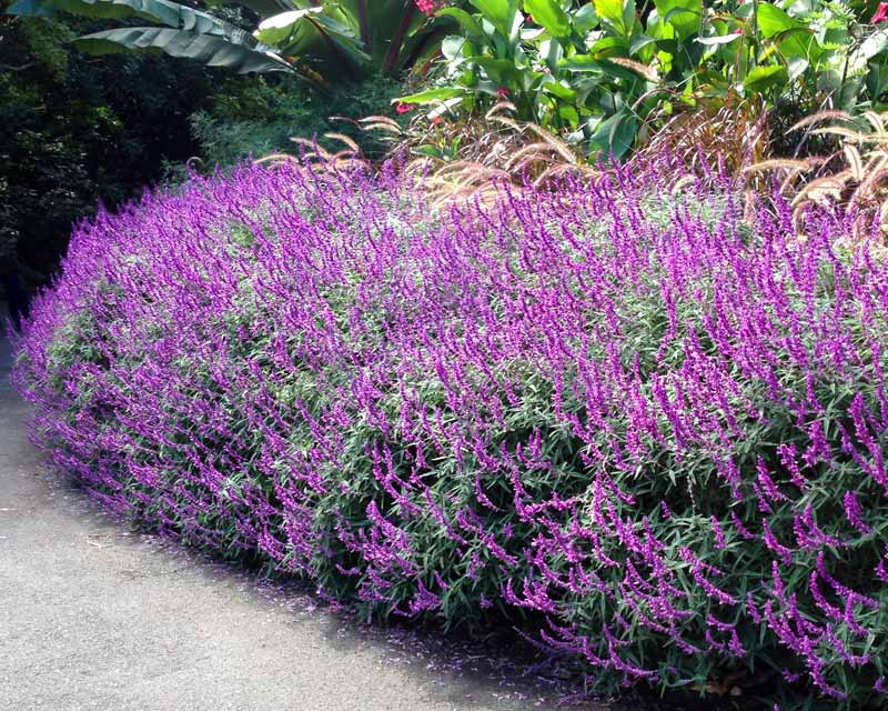 Salvia leucantha santa barbara adds colour to garden borders