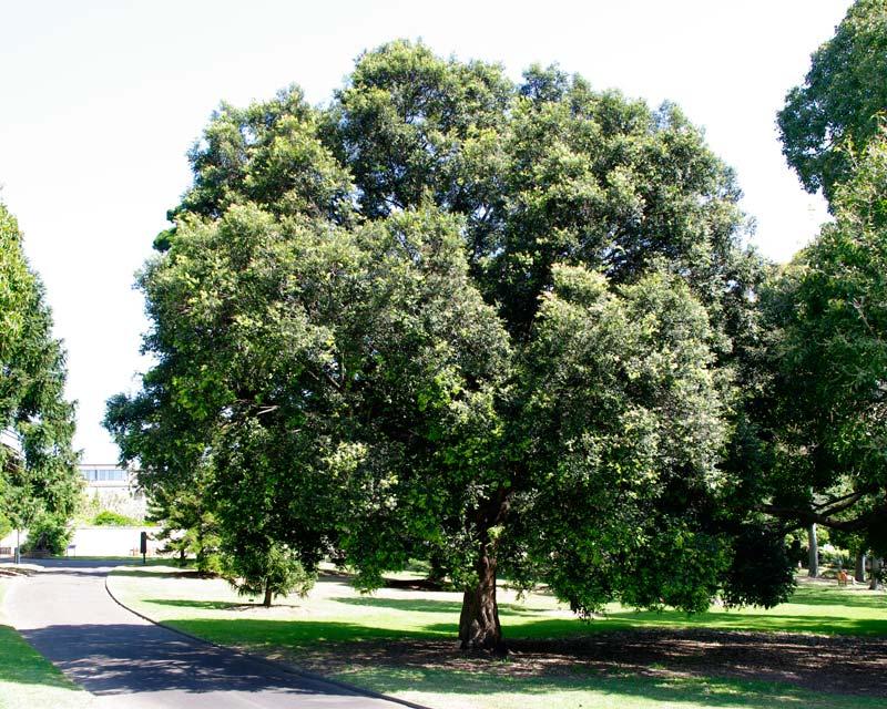 gardensonline  syzygium luehmannii