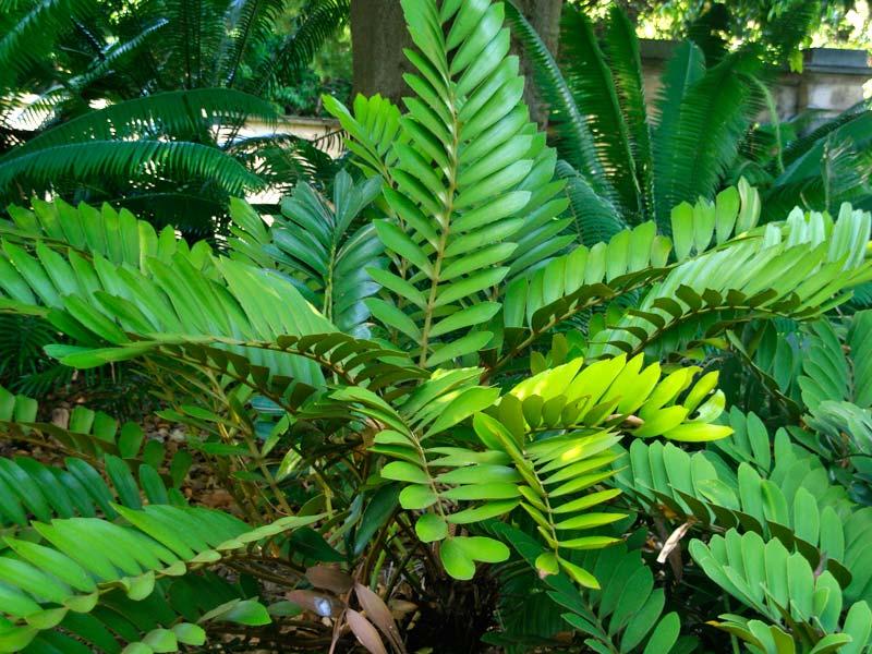 Gardensonline Zamia Furfuracea