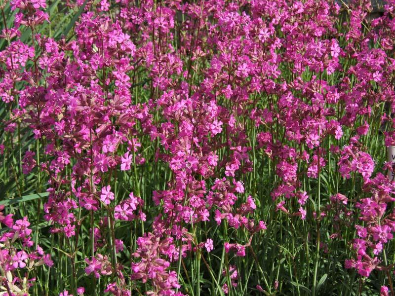 Gardensonline Lychnis Viscaria Syn Viscaria Vulgaris
