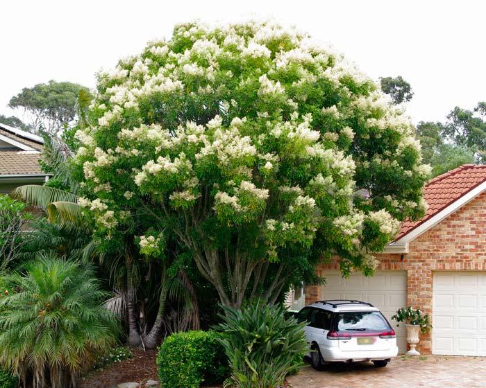 Gardensonline Fraxinus Ornus