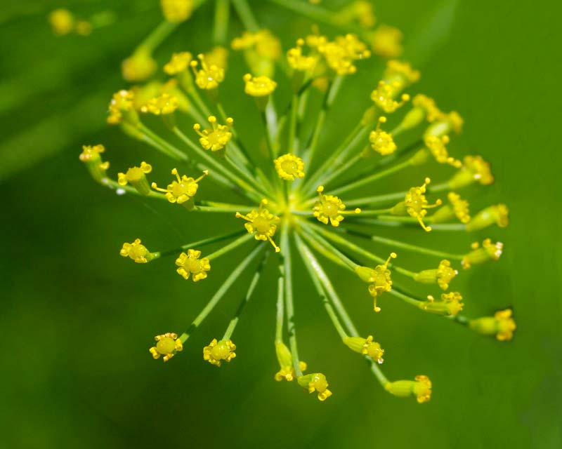 Flower head of fennel consists of many umbels of small yellow flowers