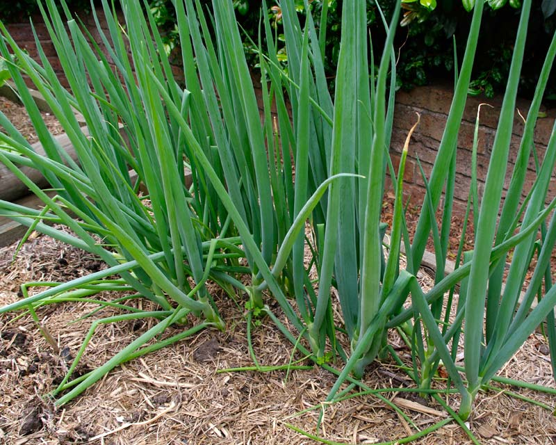 Gardensonline Allium Fistulosum