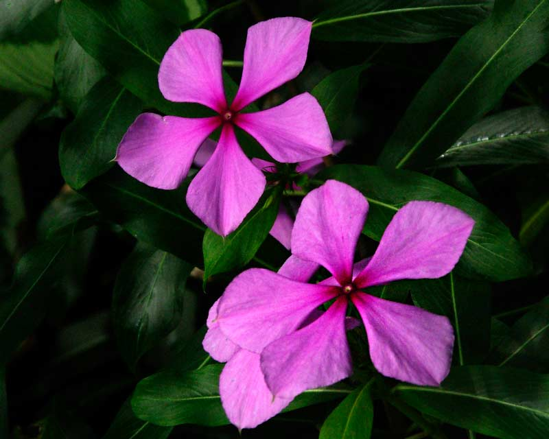 Catharanthus roseus or the Vinca