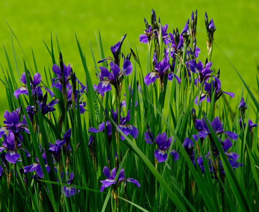 Gardensonline Iris Sibirica