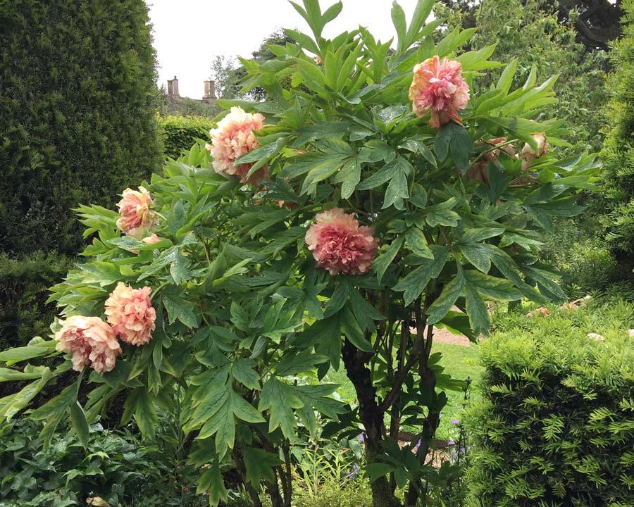 gardensonline paeonia suffruticosa. Black Bedroom Furniture Sets. Home Design Ideas