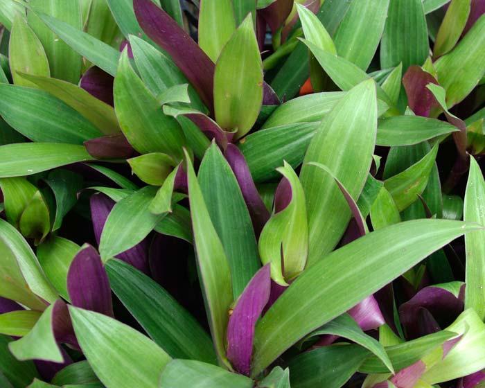 Gardensonline Tradescantia Spathacea Syn Rhoeo Spathacea