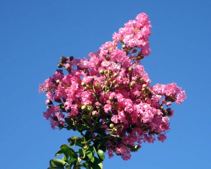 Lagerstroemia indica hybrid - deep pink