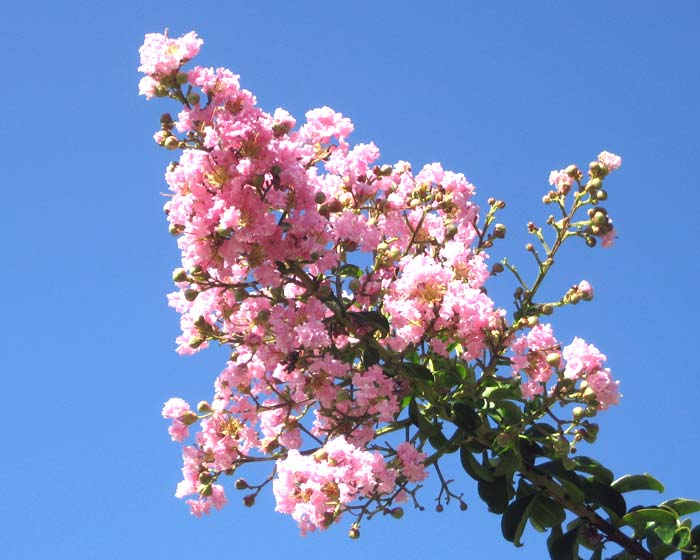 Lagerstroemia indica hybrid - pale pink