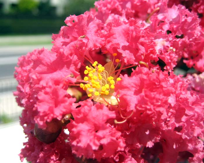Lagerstroemia indica hybrid - Red close up of flower