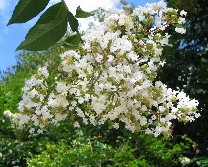 Lagerstroemia Indica hybrid Shrub/tree  with white flowers