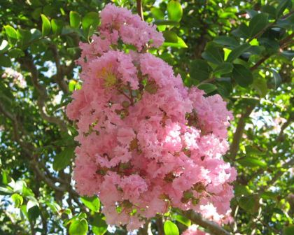 Lagerstroemia indica hybrid - panicles of soft pink frilly flowers