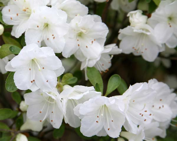 Gardensonline Rhododendron Satsuki Hybrids