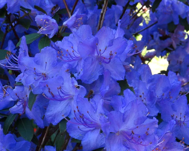 Gardensonline Rhododendron Augustinii