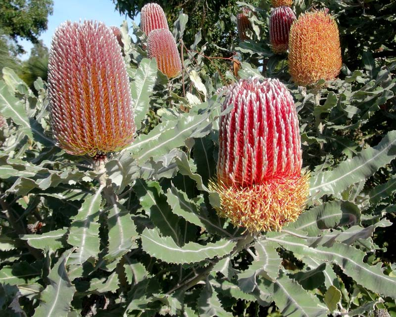 Menzies Banksia Flower Remedy