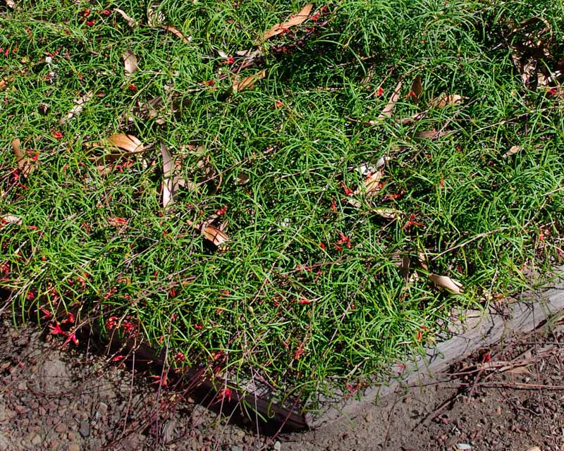 gardensonline  grevillea nudiflora