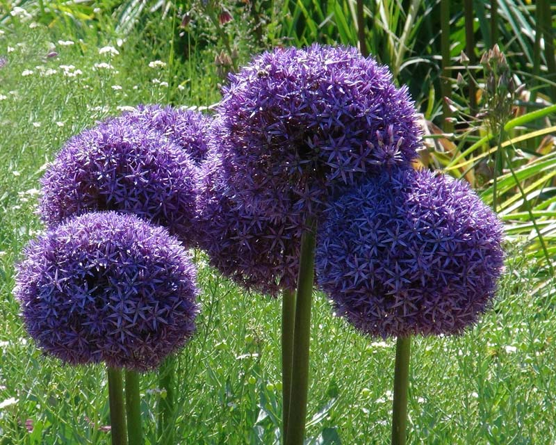 gardensonline allium giganteum. Black Bedroom Furniture Sets. Home Design Ideas