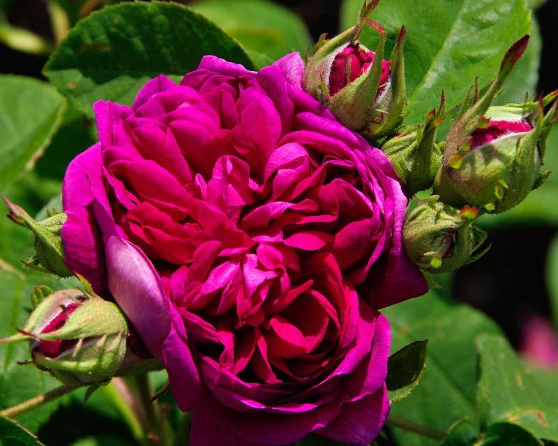 Rosa Damascena De Resht
