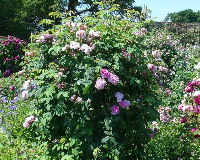Rosa Damascena Ispahan - the Damask Rose