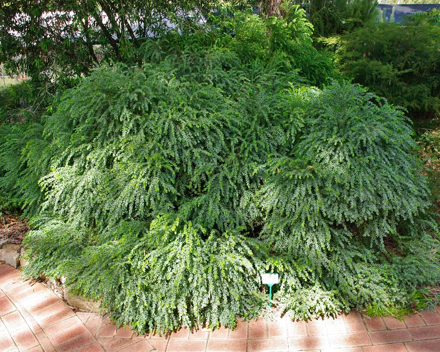 GardensOnline: Acacia howitii dwarf and prostrate forms