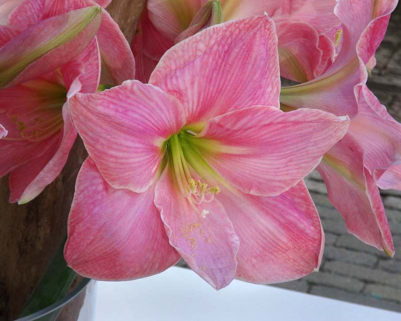 Gardensonline amaryllis hybrids for Amaryllis sweet pink