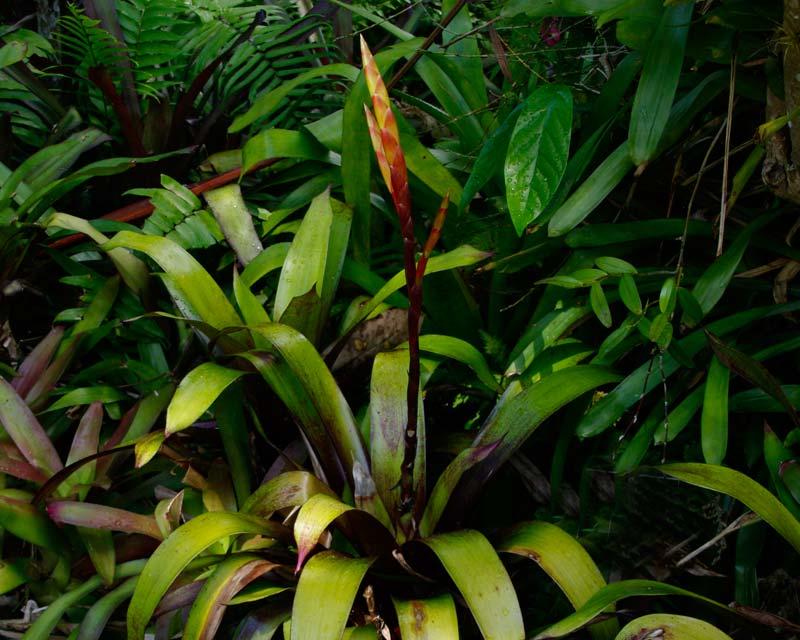 Vriesea Carlsbad a cross between V.malzinei x V.glutinosa