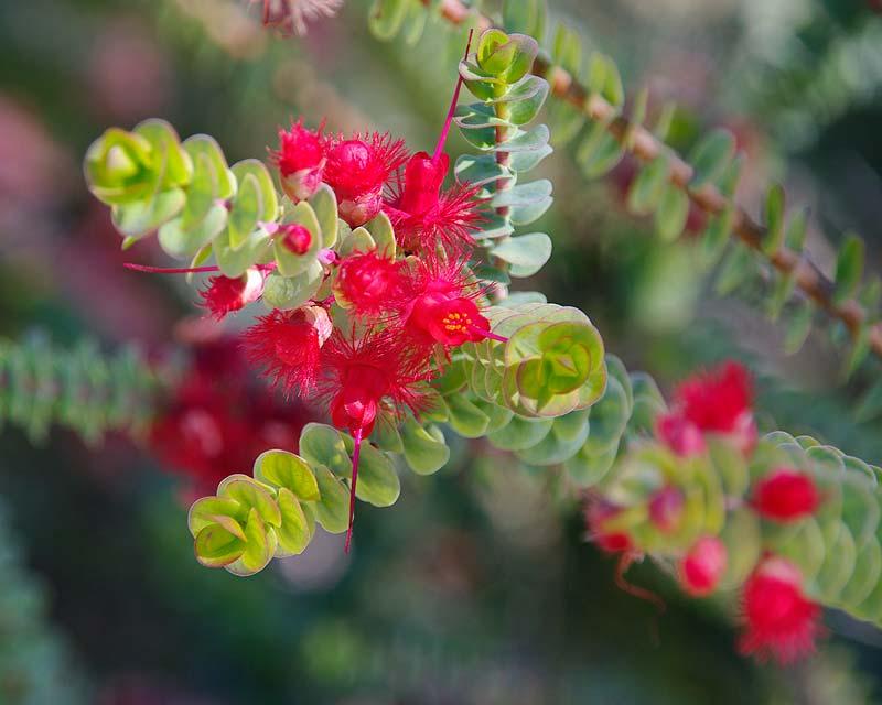 Gardensonline Verticordia Grandis