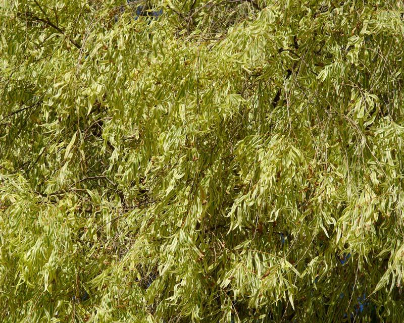 Variegated Peppermint Tree, Agonis flexuosa variegata foliage